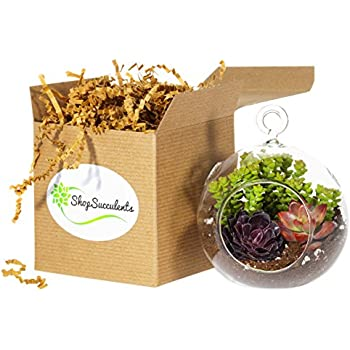 Shop Succulents Mini Succulent Container Design