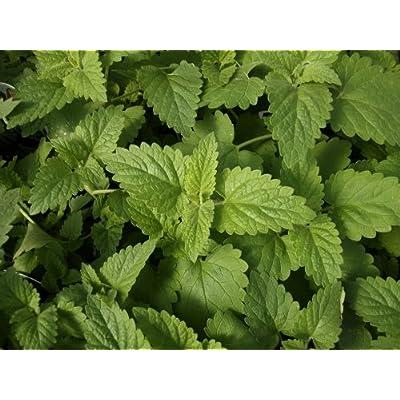 Catnip (Nepeta cataria L. var. Citriodora) Herbal Plant Seeds, Lemon Scented Culinary Herb Heirloom : Garden & Outdoor