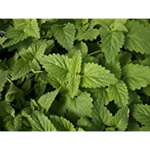 Catnip (Nepeta cataria L. var. Citriodora) Herbal Plant Seeds, Lemon Scented Culinary Herb Heirloom