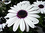 Heirloom 120 Seeds Osteospermum African Daisy Sky and Ice O Ecklonis White Purple Eye