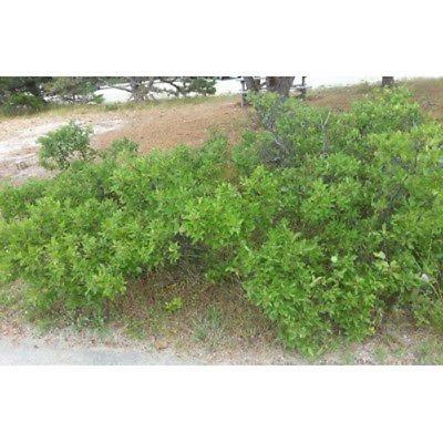Beach Plum Tree Seeds, Prunus Maritima