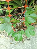 1 Live Bare Root of Jatropha Plant