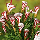 Oxalis versicolor (Candy Cane Sorrel) (10 Bulbs)