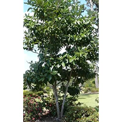 1 Plant in 1 Gallon Pot - Sweetbay Magnolia Tree - Hardy Established Roots : Garden & Outdoor