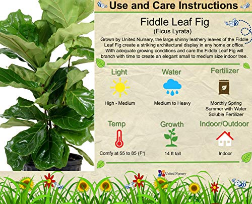 United Nursery Ficus Lyrata Tree Live One Stem Indoor Plant Fiddle-Leaf Fig 32'' Shipping Size Fresh in Grower 9.25'' Pot from Our Florida Farm by United Nursery (Image #1)