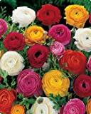 Ranunculus (Persian Buttercup) 25 bulbs