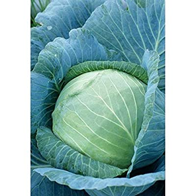 Stonehead Cabbage - HUGE Tight Crisp & Tasty Heads !!!!!!!(25 - Seeds) : Garden & Outdoor