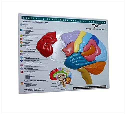 Amazon.com: Brain Model & Puzzle: Anatomy & Functional Areas of the ...