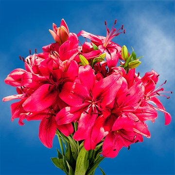 GlobalRose 28 Blooms of Hot Pink Color Asiatic Lilies 8 Stems - Fresh Flowers for Delivery by GlobalRose