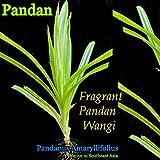 ~FRAGRANT PANDAN~ UNIQUE SPICE PLANT Pandanus Amaryllifolius Nice 6-12+in Plant