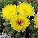 Notocactus Ottonis Wigginsia Nothohorstii Cactus Cacti Succulent Real Live Plant M1