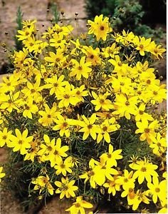 Garthwaite nurseries potted 1 litre coreopsis moonbeam verticillata garthwaite nurseries potted 1 litre coreopsis moonbeam verticillata yellow summer flower perennial mightylinksfo