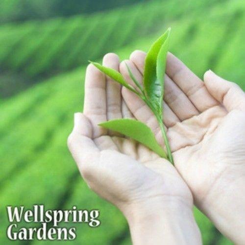 camellia-sinensis-tea-plant-live-black-white-green-oolong-excellent-gift