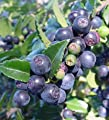 Vaccinium ovatum - Huckleberry, Evergreen