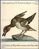 (Duck) Anatra querquedula minor