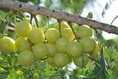 Phyllanthus emblica India Gooseberry Seeds!