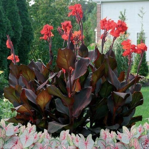 2 Black Calla Lily Seeds, Tropical Bronze Scarlet Calla Flower - Calla Bronze Lilies