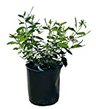 PlantVine Aloysia virgata, Sweet Almond Verbena, Incense Bush, Sweet Almond Bush - 10 Inch Pot (3 Gallon), Live Plant