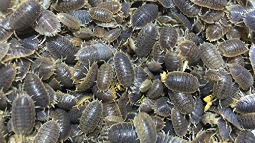 live-hippopolyus-giant-roly-poly-isopods-30-rolie-polie-isopods-by-pocket-pets