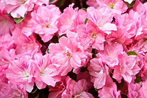 Rhododendron Hybrid - Home Comforts Laminated Poster Hybrid Azalea Rhododendron Flowers Poster Print 24x 36