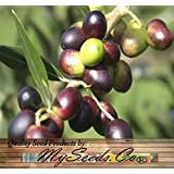 5 x OLIVE TREE Olea europaea Seeds BONSAI & Variety from Italy - By MySeeds.Co