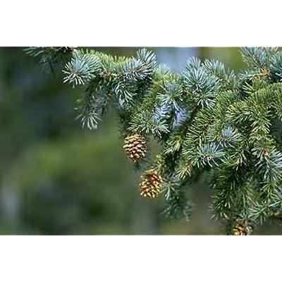 Engelmann Spruce. 200 seeds. trees, seeds : Garden & Outdoor