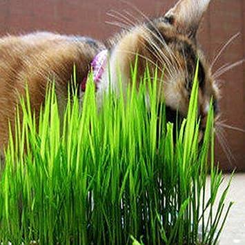 Hierba de los gatitos de los gatos les gusta comer semillas de la planta de la hierba trigo puede ser cosechadas repetidamente semillas de trigo 200PCS: ...