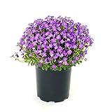 Vastravel Rock Cress Aubrieta Cultorum Blue Purple Flower 400 Seeds