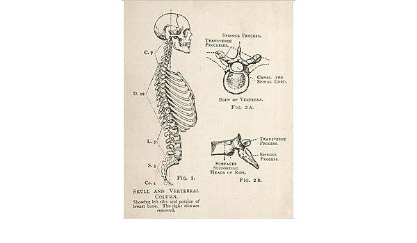 Impresión fotográfica de diagrama de humanos calavera y columna vertebral: Amazon.es: Hogar