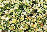 Crassula Ovata Crosbys Compact-Dwarf Jade