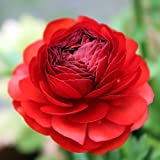 Tecolote Ranunculus Red - Persian Buttercup Bulbs - 10 XL Bulbs - 8+ cm | Ships From Easy to Grow TM