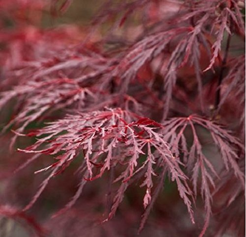 New Life Nursery & Garden / - Red Dragon Weeping Japanese Maple Tree Trade Gallon Pot by New Life Nursery & Garden (Image #2)