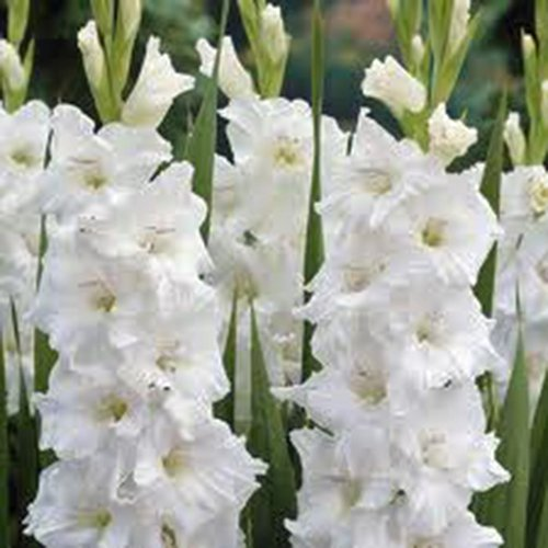 GLADIOLUS, BULB (10 PACK) WHITE CLOUDS, SNOW WHITE PERENNIAL GLADIOLUS BULBS, FLOWERS