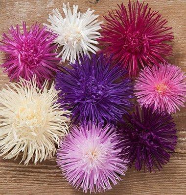 David's Garden Seeds Flower Aster Valkyrie Mix D1916A (Mulit Color) 50 Open (Aster Paper)