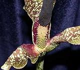 Amorphophallus kiusianus - Kyushu Voodoo Lily - 2 seeds