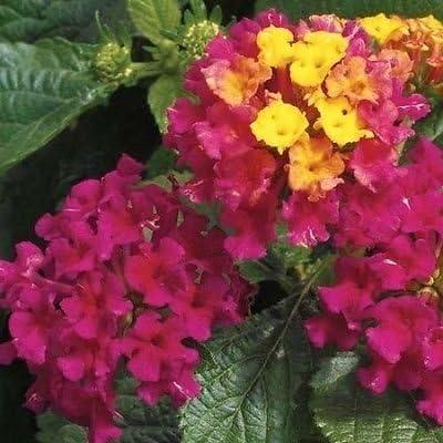 Lantana Camara Cherry Plant In 13 Cm Pot Amazon Co Uk Garden Outdoors