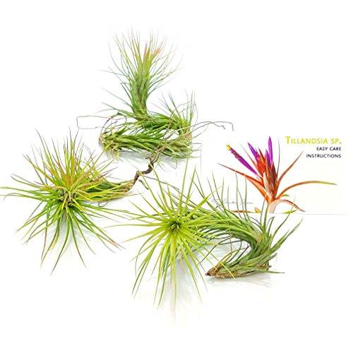 heavenly-tillandsia-easy-care-air-purifying-house-plants-for-fairy-garden-starter-kit-live-terrarium