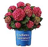 Premier Plant Solutions 21375 Summer Crush Hydrangea, 1 Gallon, Red