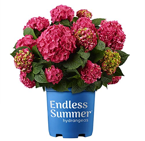 Endless Summer Hydrangea - Premier Plant Solutions 21376 Summer Crush Hydrangea Macrophylla Flowering Shrub 3 Gallon Red