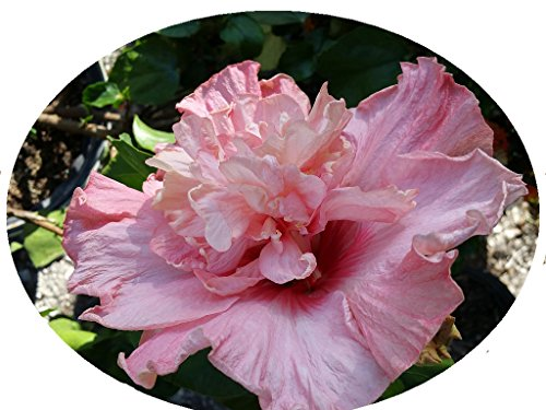 Pink Nectar Hibiscus Tropical Live Plant Extra Large Exotic Fancy Crested Double Pink Flower Starter Size 4 Inch Pot Emerald TM (Hibiscus Care Flowers)