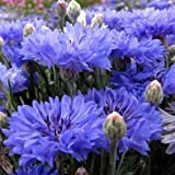 Cornflower Blue Centaurea Cyanus Dwarf Tom Pouce 50 Seeds