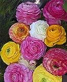 15 Persian Buttercup bulbs--Ranunculus Tecolote Mixture