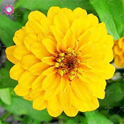 50pcs Jardín Semillas Semillas Zinnia multicolor hermosa del crisantemo bola de fuego de flores Semillas Semillas: 365016: Amazon.es: Jardín