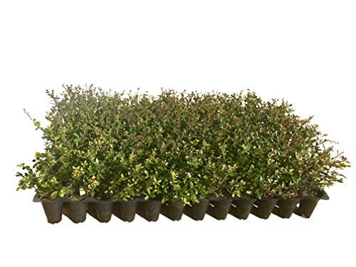 Ilex Schilling Stokes Dwarf Yaupon Holly Vomitoria Qty 72 Fully Rooted Live Plants Evergreen Hedge by Florida Foliage (Image #6)