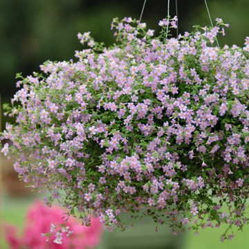 Park Seed Blutopia Bacopa Seeds
