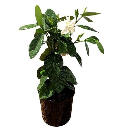 Tahitian Gardenia Plant