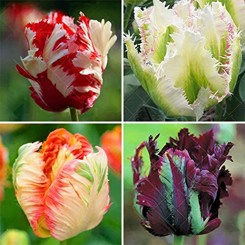 - Lioder Seeds Garden - Rare Parrot Mix Tulip Flower Seed Flaming Parrot Flower Perennial Pot Flower Seeds for Borders, containers and Rock Gardens