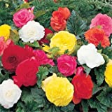 Outsidepride Begonia Tuberosa Double Flower Seed Mix - 500 seeds
