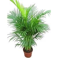 Planta de interior - Planta para la casa o la oficina - Chrysalidocarpus lutescens Palmera Areca - Palmera mariposa - 1…