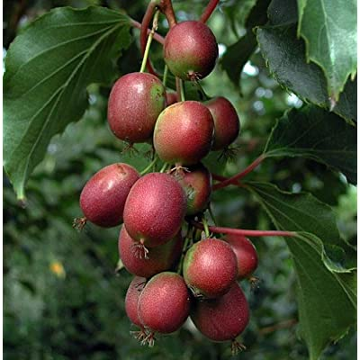 """Hirt's 2 Hardy Kiwi Plants - Actinidia - Ken's Red Female and Male - 2.5"""" Pots : Artic Kiwi Plant : Garden & Outdoor"""